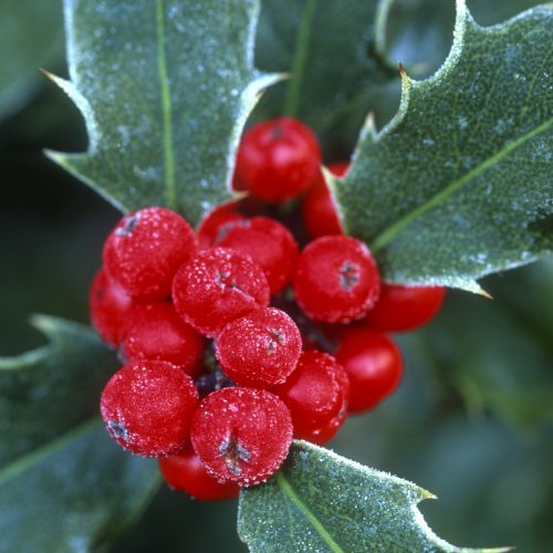 ONLINE COURSE The Christmassy chemistry of festive flora