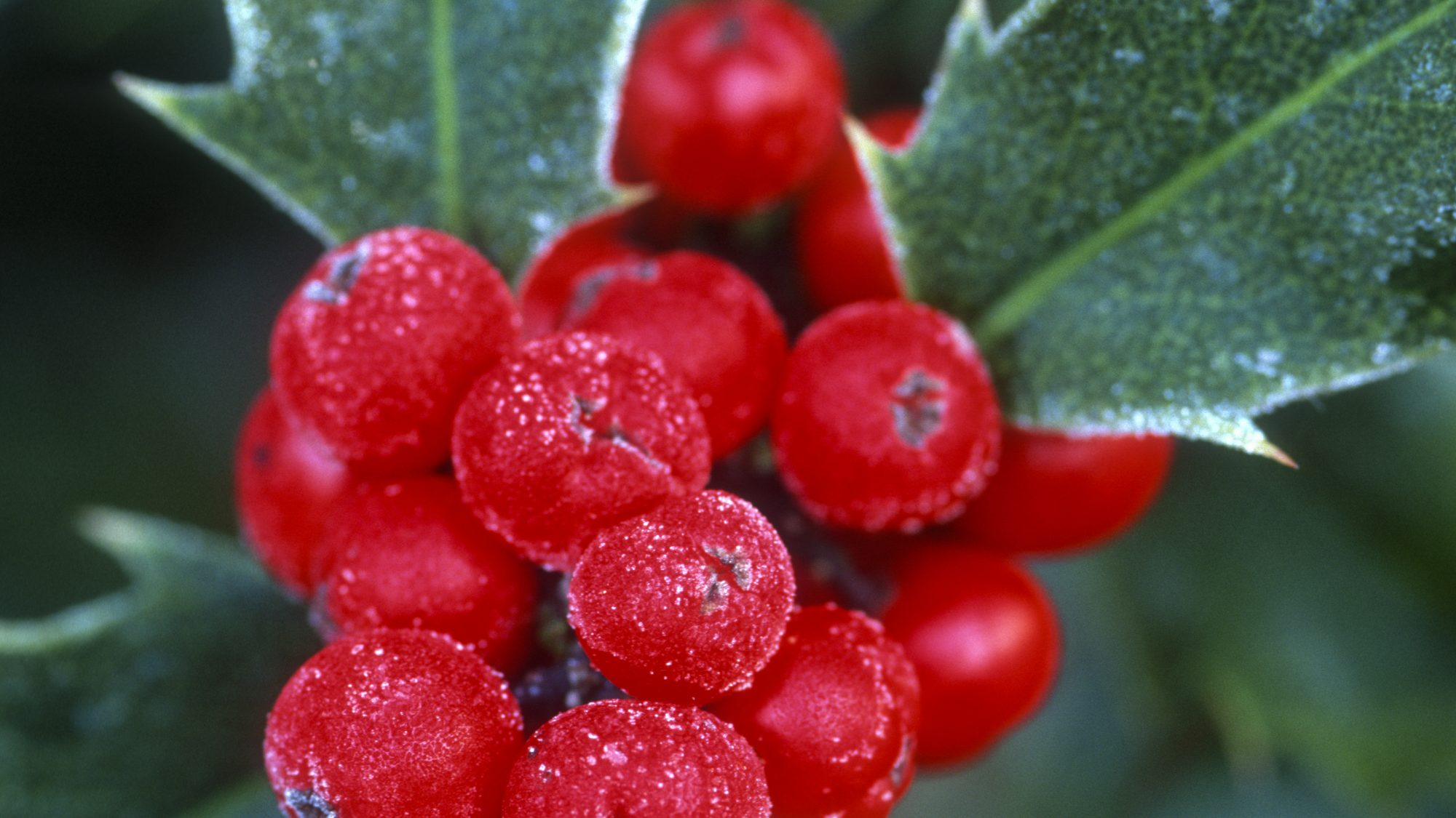 Ilex aquifolium, photo Howard Rice
